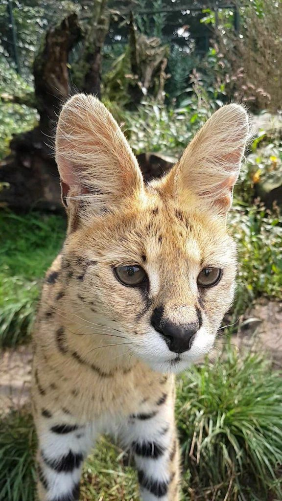 Serval kop