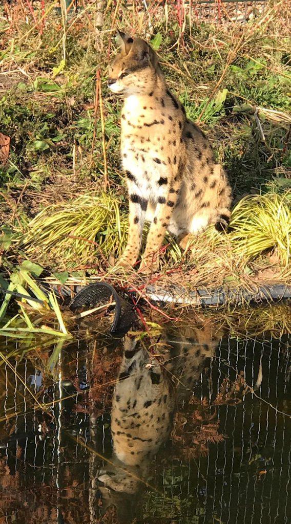 serval bij water