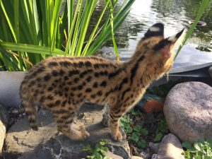 serval kitten kijkt in water