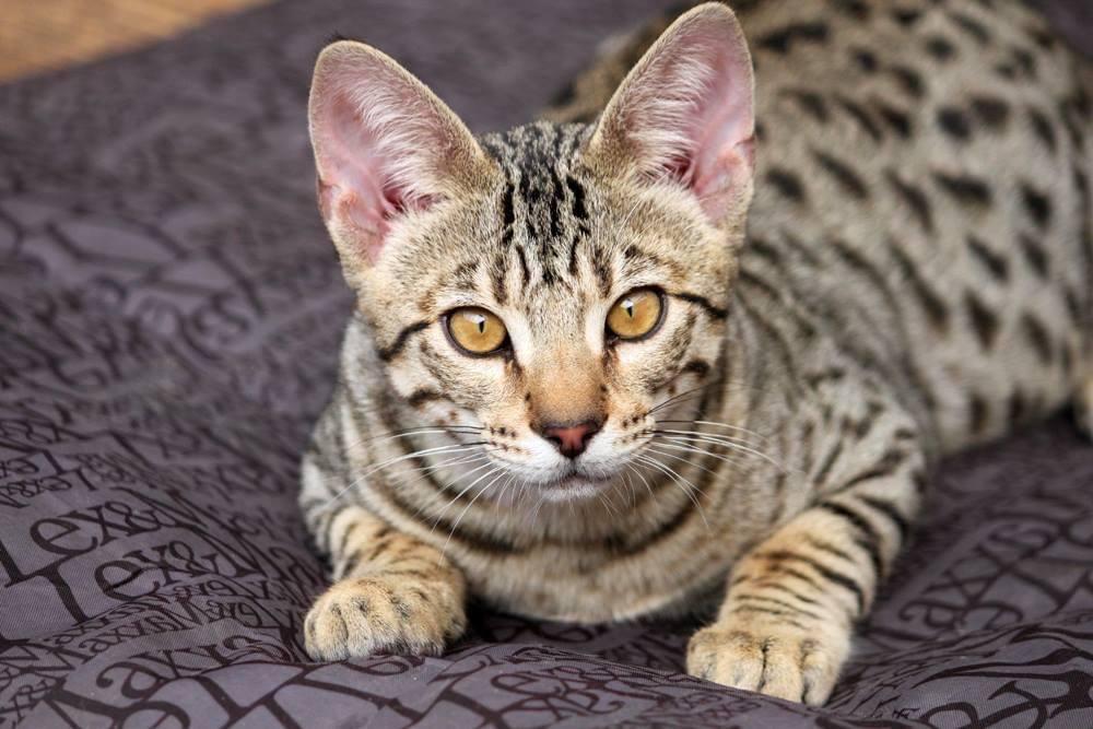 kattenshow savannah kat