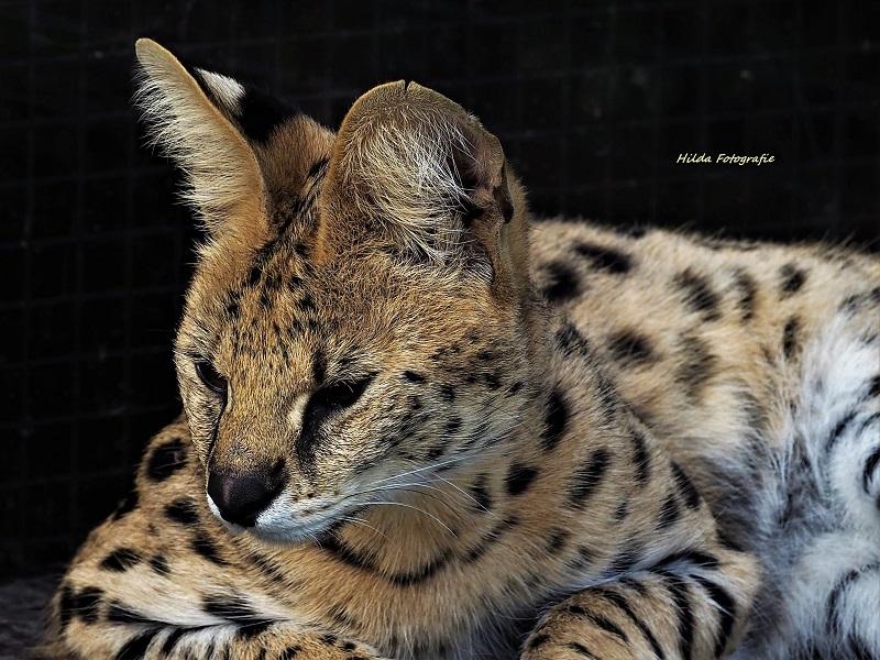 serval hilda