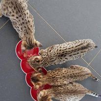 Savannah kittens eten